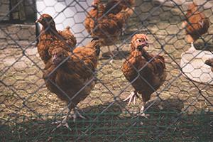 L'importation de poulets au Canada : les formalités douanières